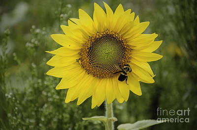 Photograph - Sunflower Among The Weeds by Debra Fedchin