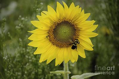 Photograph - Sunflower Among The Weeds by Debra Fedchin