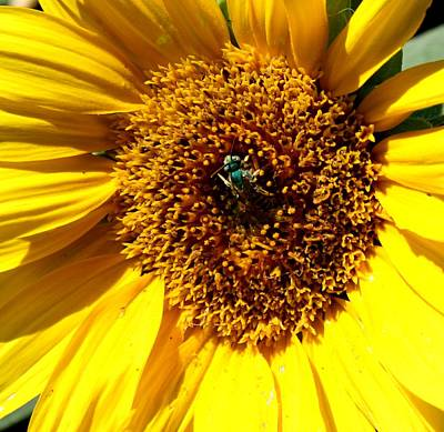 Photograph - Sunflower And A Green Bee by Joanna Aud