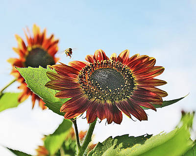 Photograph - Sunflower And Bee by Corey Haynes