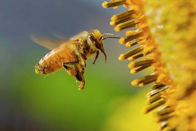 Sunflower And Bee Art Print by Mircea Costina Photography