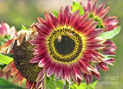Photograph - Sunflower And Bees by Mimi Ditchie