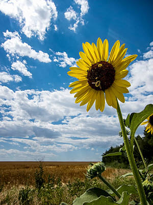Photograph - Sunflower And Bees On The Edge Of The Prairie by Mary Lee Dereske