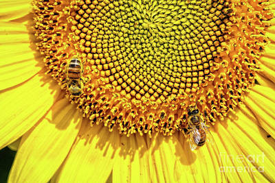 Negative Space - Sunflower and Bees by Robert Alsop