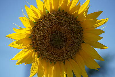 Mt Rushmore Royalty Free Images - Sunflower and blue sky Royalty-Free Image by Martin Morehead