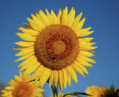 Photograph - Sunflower And Blue Sky by Nancy Landry