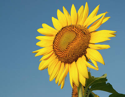 Photograph - Sunflower And Blue Sky by Phyllis Peterson