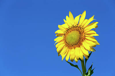 Photograph - Sunflower And Blue Sky by SR Green