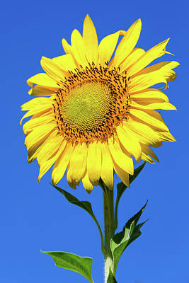 Photograph - Sunflower And Blue Sky Vertical by SR Green