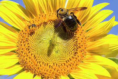 Photograph - Sunflower And Bumble Bee Macro  by Kathy Clark