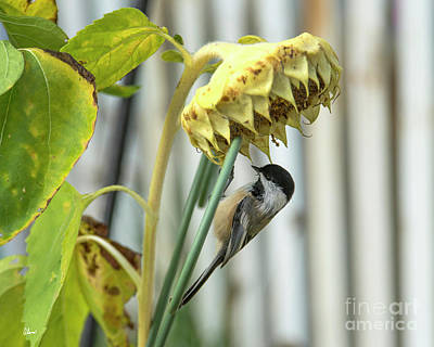 Photograph - Sunflower And Chickadee  by Alana Ranney