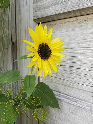Photograph - Sunflower And Dill by Amanda Smith