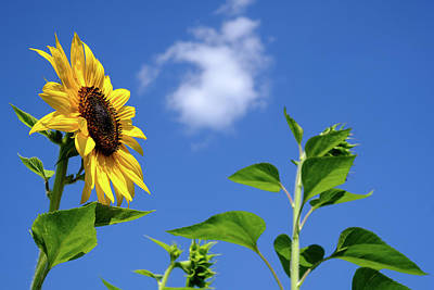 Photograph - Sunflower And Friend by Glenn DiPaola