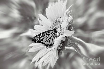 Photograph - Sunflower And Monarch Butterfly Black And White by Sharon McConnell