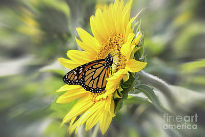 Photograph - Sunflower And Monarch Butterfly by Sharon McConnell