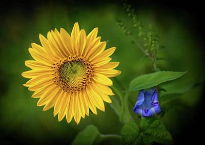 Photograph - Sunflower And Morning Glory by Carolyn Derstine