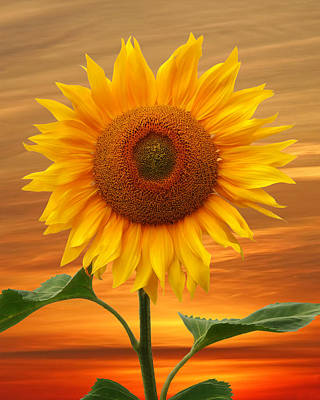 Photograph - Sunflower And Red Sunset by Gill Billington