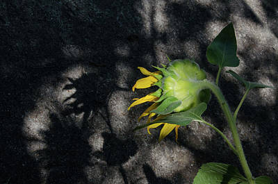 Photograph - Sunflower And Shadow by Pam Kaster