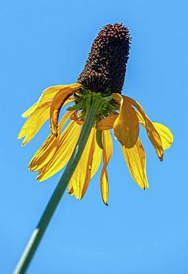 Photograph - Sunflower And Sky by Robert Ullmann