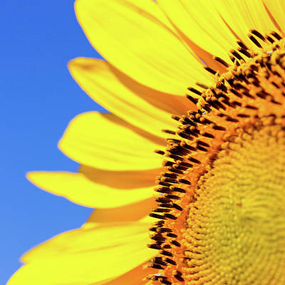 Photograph - Sunflower And Sky Square by SR Green