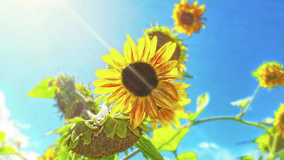 Photograph - Sunflower And Sunlight by Amanda Smith