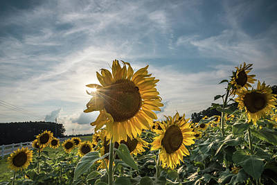 Photograph - Sunflower And Sunstreaks by Anthony Doudt