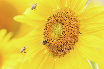 Photograph - Sunflower And The Bees by Joni Eskridge