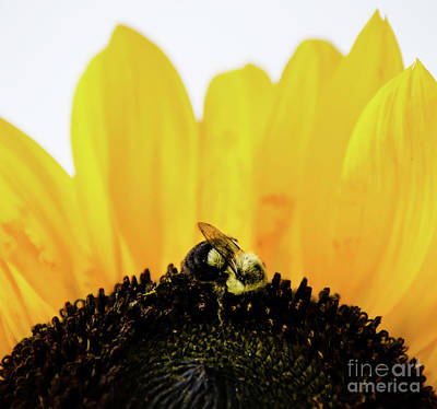 Photograph - Sunflower by Andrea Anderegg