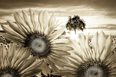 Photograph - Sunflower Angels by Debra and Dave Vanderlaan