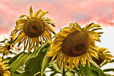 Sky Photograph - Sunflower Art 1 by Edward Sobuta