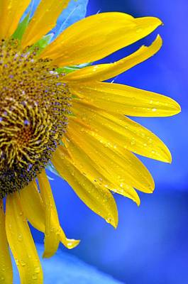 Photograph - Sunflower Art by Rose  Hill