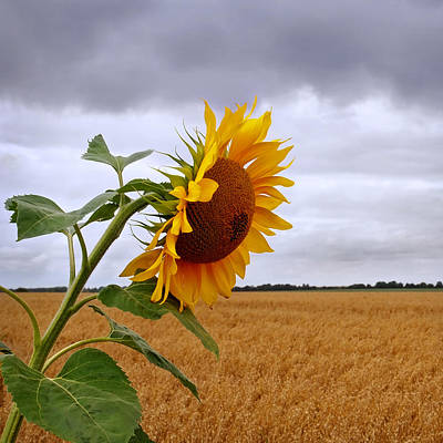 Photograph - Sunflower At Harvest Time Square by Gill Billington