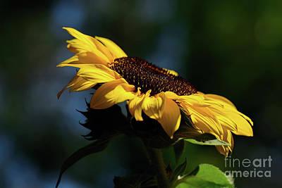 Sunflower At Sunset By Kaye Menner Art Print