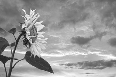 Photograph - Sunflower At Sunset In Mono by Gill Billington
