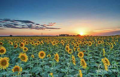 Texas Sunflowers At Sunset Art Print