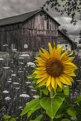 Photograph - Sunflower At The Farm by Debra and Dave Vanderlaan