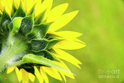 Photograph - Sunflower Back by Alana Ranney