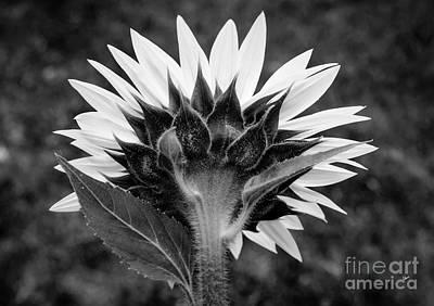 Photograph - Sunflower Back IIi by Alana Ranney
