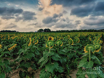 Photograph - Sunflower Backs by Alissa Beth Photography
