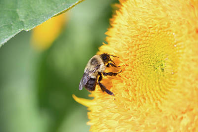 Photograph - Sunflower Bee by Brian Hale
