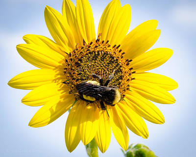 Lake Photograph - Sunflower Bee by Erich Grant