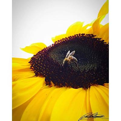 Photograph - Sunflower Bee Photo By @pauldalsasso by Paul Dal Sasso