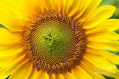 Photograph - Sunflower   by Benanne Stiens