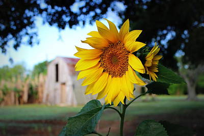 Photograph - Sunflower by Beth Vincent
