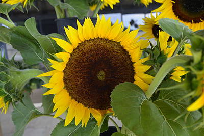 Photograph - Sunflower by Bill Hosford