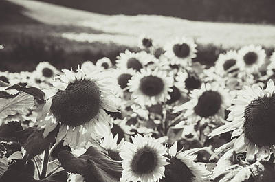 Photograph - Sunflower Black And White 1 by Andrea Anderegg