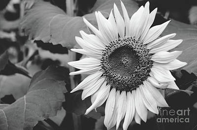 Photograph -  Sunflower Black And White 2  by Andrea Anderegg