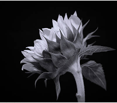 Photograph - Sunflower Black And White by Judy Vincent