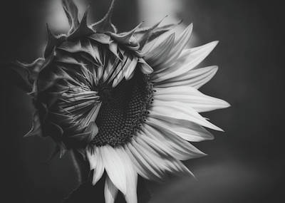 Photograph - Sunflower Black And White by Pixabay