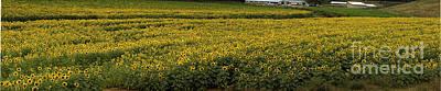Photograph - Sunflower Bliss Panorama by Barbara Bowen